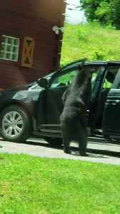Bear Opens up Car Doors like a Boss [Video]