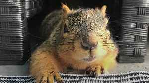 Brain-damaged squirrel inspires the setting up of a rescue hospital [Video]