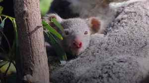 Seven koala joeys debut at Australian Reptile Park