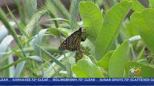 Chicago Museums Helping To Save Endangered Monarch Butterflies [Video]