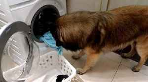 Helpful dog helps mum load and unload washing machine [Video]