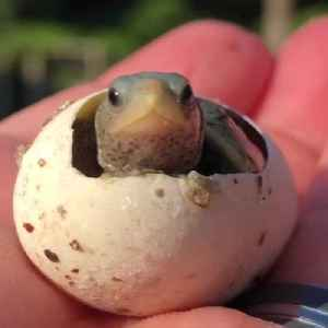 Baby Turtle Enters the World [Video]