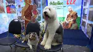 Photogenic pooches line up for Thailand International Dog Show [Video]