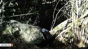 A Rare Black Leopard Was Captured On Camera [Video]