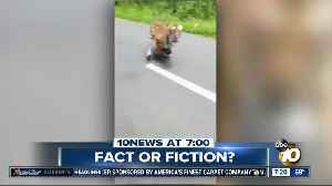 Video shows tiger chasing motorcycle? [Video]