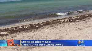 Seaweed Problem Not Going Away [Video]