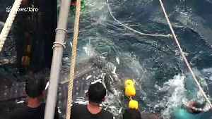 Heartwarming moment three trapped whale sharks are released from fishing trawler's net [Video]