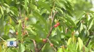 Cherry Harvest Behind Schedule [Video]