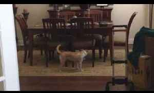 Two Dogs Chase Each Other Through Dining Room Table [Video]
