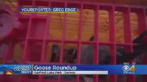 Fight Over Geese Roundups In Denver Continue [Video]