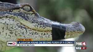Alligator found on second floor of a condo building in North Naples [Video]