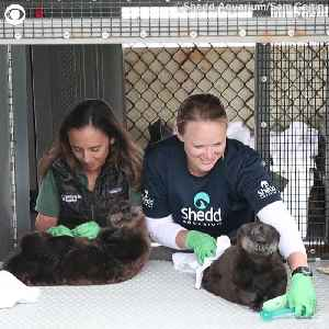 Rescued Otters Find New Home At The Shedd Aquarium [Video]