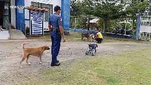 Disabled stray dog can finally walk again thanks to kind policemen who made her a wheelchair [Video]