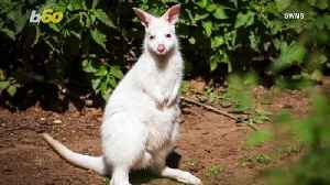 Bright & Wild! Check Out This Rare Albino Wallaby That Has To Wear Sunscreen For Protection! [Video]