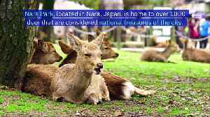 Nine Deer in SacredJapanese Sanctuary DieAfter Eating Plastic Bags [Video]