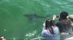 Great White Sharks Spotted Off Half Moon Bay [Video]