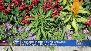34 Cannabis Plants Found Growing In Flower Beds At The Vermont Capitol [Video]