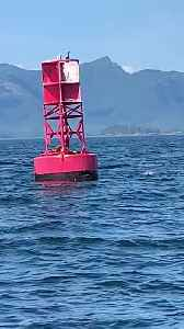 Sea Lions Launch onto Buoy to Relax [Video]
