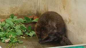 Watch: Russian breeding scheme 'sees beavers recover from near-extinction' [Video]