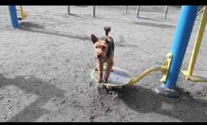 Welsh Terrier Dog Plays with Playground Equipment [Video]