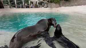 California Sea Lion Pup Bonds With Mom At  Brookfield Zoo [Video]