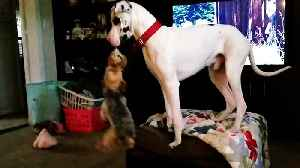 Great Dane climbs onto furniture to swing his little friend through the air [Video]