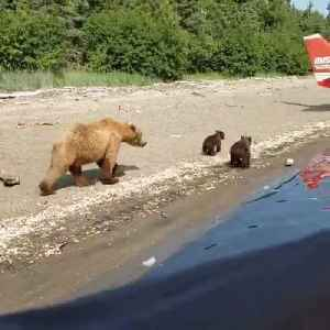 Mother and Baby Bears Play by Plane on Beach [Video]