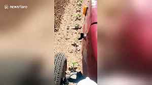 Brave bird stops moving tractor to prevent her eggs being run over [Video]