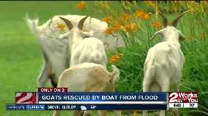 Goats take refuge from flood waters in Louisiana woman's yard [Video]