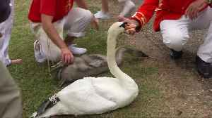 Annual census of Queen's swans takes place on River Thames [Video]