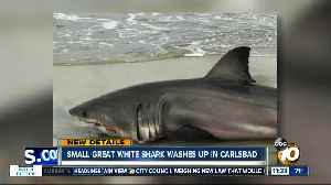 Experts try to determine what caused death of shark found in Carlsbad [Video]