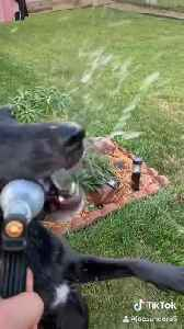 Dogs Won't Let Owner Water the Plants [Video]