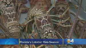 Grab Your Tickle Stick: Florida's Lobster Mini-Season Is Almost Here [Video]