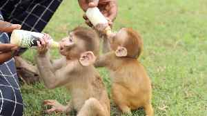Adorable Monkey Babies Orphaned After Their Mothers Died Are Inseparable [Video]