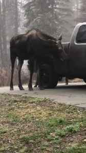 Moose Gives Complimentary Car Wash [Video]