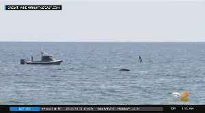Whale Spotted In Distress Off Long Island [Video]