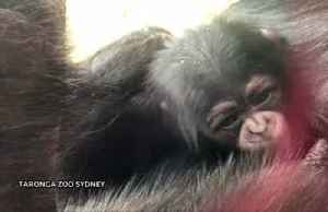 Baby chimpanzee makes her public debut in Sydney [Video]