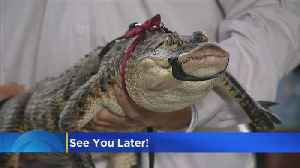 See You Later, Alligator! Humboldt Park Gator Caught At Last [Video]