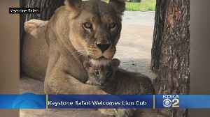 He's 'Gonna Be A Mighty King': Grove City's Keystone Safari Welcomes Rare, Adorable Lion Cub [Video]