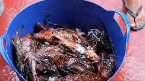 A delicious solution to Cyprus' lionfish problem [Video]