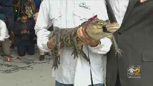 Alligator Captured At Humboldt Park Lagoon; 'One Cast And Done' [Video]