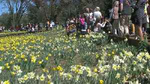 Northern California Businesses Could See Slump in Tourism After Popular Daffodil Hill Closes [Video]