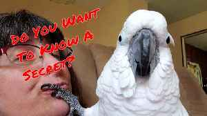Did you know that cockatoos can whisper? [Video]
