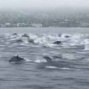 Pod of 100 dolphins swims along boat [Video]