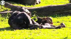 WEB EXTRA: Baby Chimp Makes Debut [Video]