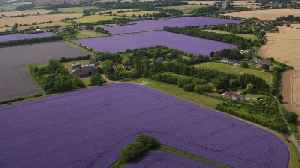 Drone footage shows fields of echium in full flower in Essex [Video]