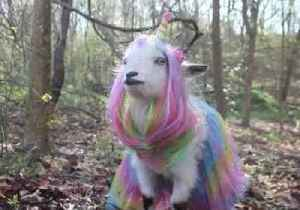 Not so Rare, Then: Tennessee Farmer Dresses Her Goat as a 'Goaticorn' [Video]