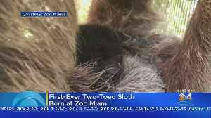 Two-Toed Sloth Born At Zoo Miami [Video]