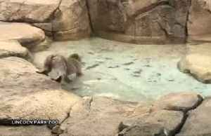 Curious macaque's first water experience at U.S. zoo [Video]