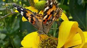 Britons urged to help count influx of painted ladies butterflies [Video]